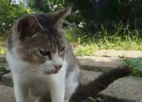 切ない鳴き声で迫る公園猫
