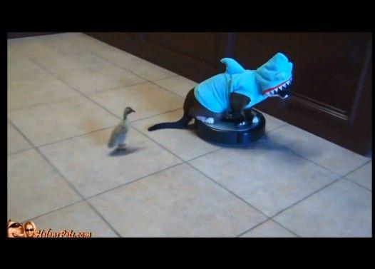 ジョーズと化した猫、ルンバを駆使してダックちゃんを強襲