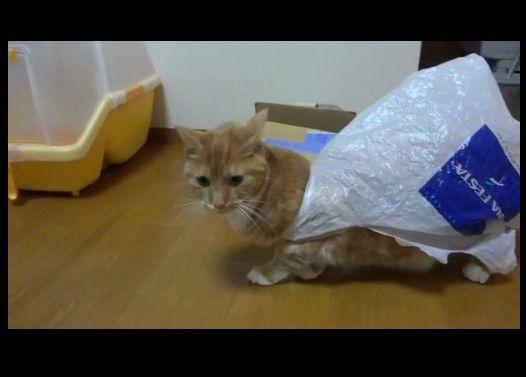 ビニール袋に興味をもった猫が