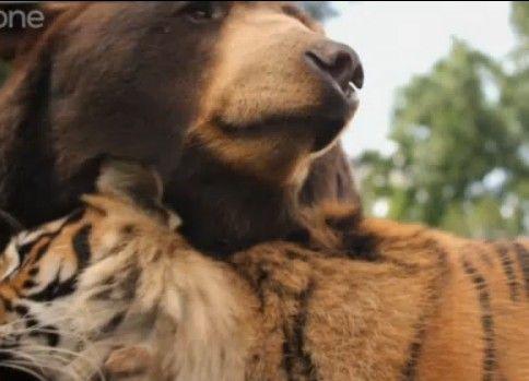 異種動物愛 クマさんとトラさん とっても仲良し
