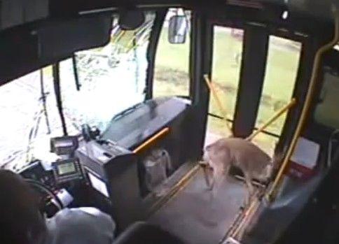 フロントガラスを突き破ったシカがバスの中で大暴れ!