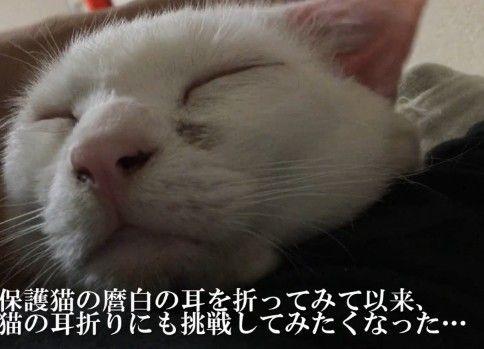 【鬼畜】猫たちの耳を折ってみた