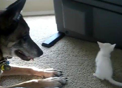 退役軍用犬と子猫