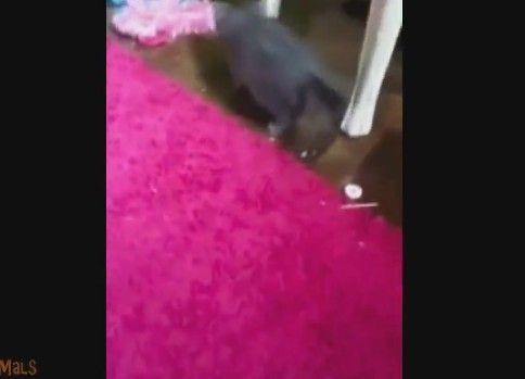 動くカーペットに反応してビックリジャンプをする猫たち