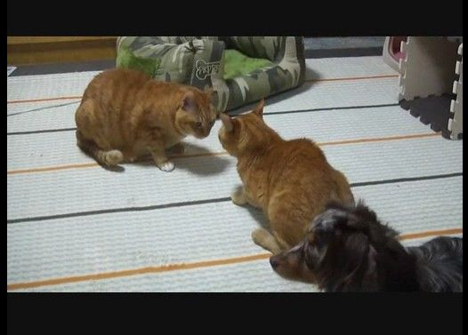 喧嘩するネコさんとその周りでそわそわするワンコ大百科