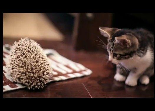 子猫、ハリネズミと出会う