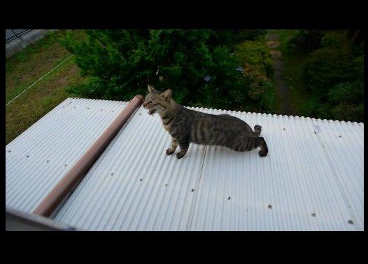 下の屋根から上の屋根に上れない猫