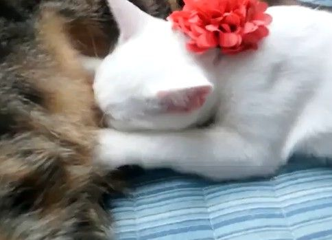 オス猫の乳を吸いまくる子猫 (ΦωΦ)<オス?そんにゃの関係にぇえ!
