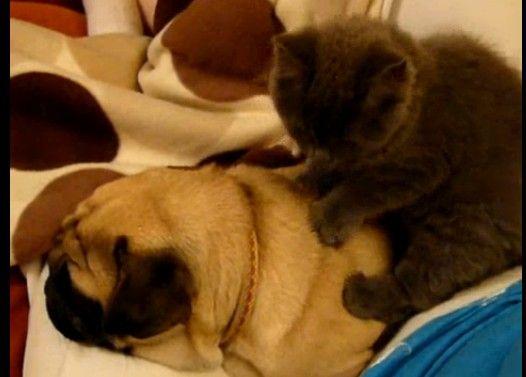 猫のマッサージが気持ち良くてイビキをかいて寝る犬