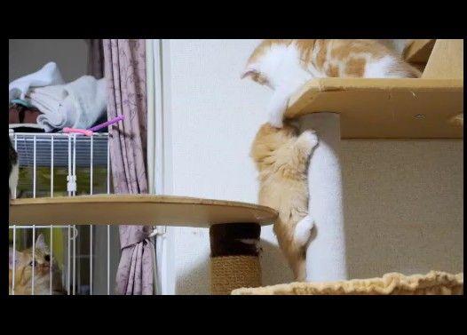 【マンチカン3兄弟】猫タワー争奪戦
