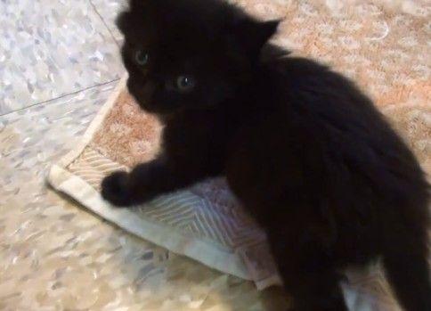 うちの黒猫の赤ちゃんの鳴き声がかわいい件