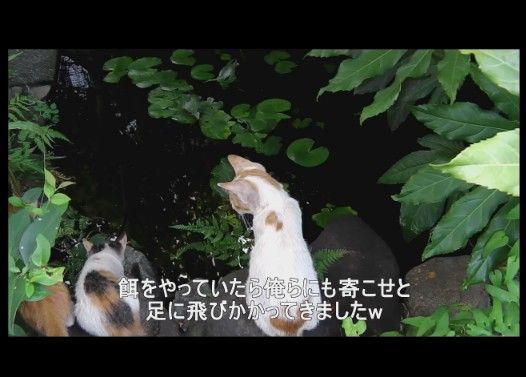 金魚に興味を持った子猫達