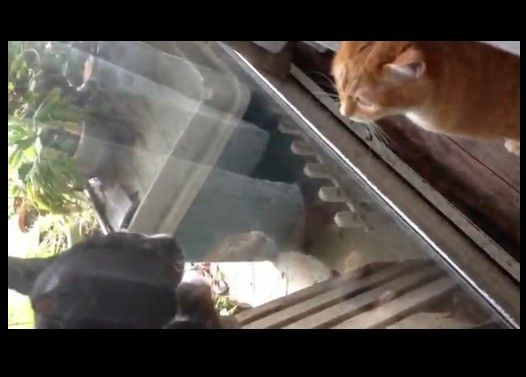 ウチの義理の妹(猫)が外のオスにケンカ売ってる