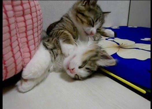 寝ちゃダメー 【寝ている子猫をペロペロ舐めまくる子猫
