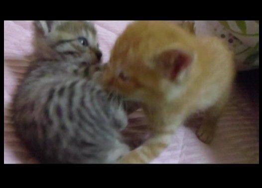 子猫レスリング