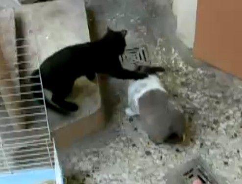 猫に発情するウサギ