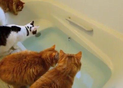 【マンチカンズ】猫が魚を追ってドボン