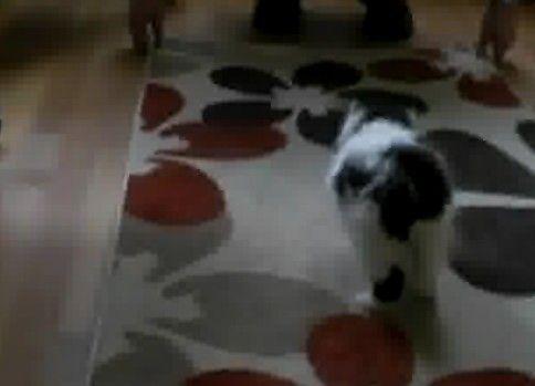 動くじゅうたんにビビリまくりの子ぬこ