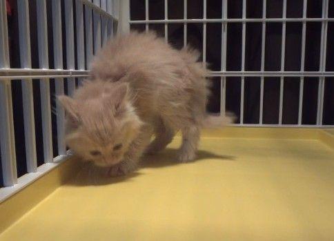 逆毛立ちまくり子猫(かわいい)