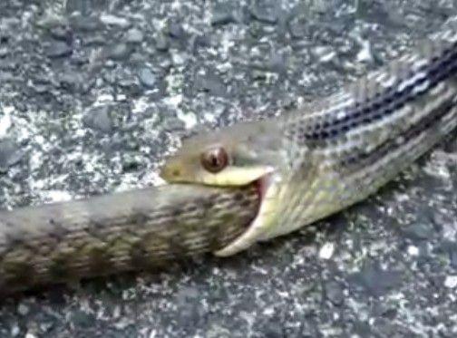 ヘビがヘビを丸呑み