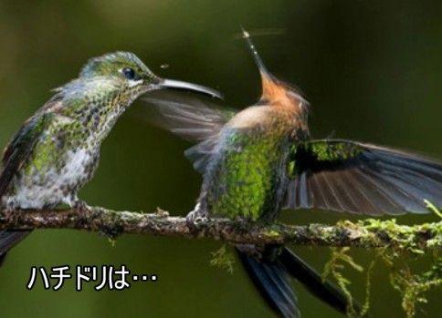 ゆっくり動物雑学「ハチドリは…」