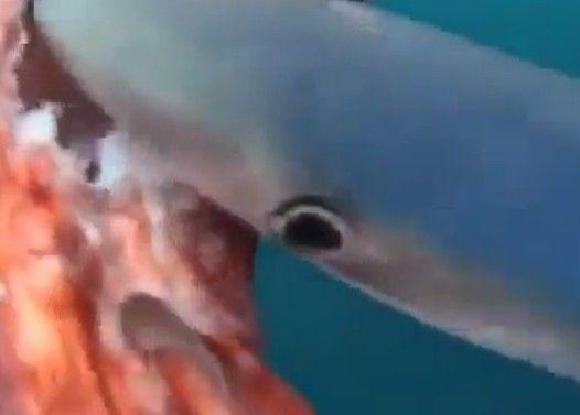 死んだダイオウイカを食べるサメ