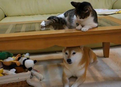 柴犬に降りそそぐ猫パンチ