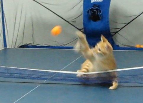 【卓球】猫の強烈なスマッシュ
