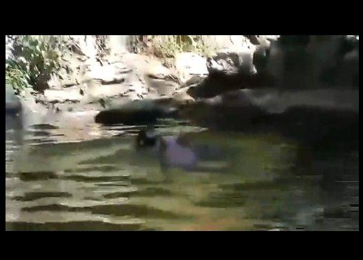 溺れたヤギを救出する豚