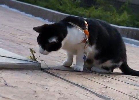 カマキリに騙された猫 - 蟷螂拳奥義『ねこだまし!』
