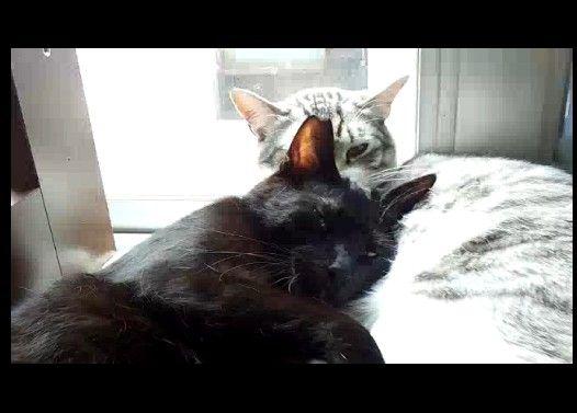 黒猫の愛情表現に、揉みくちゃになる猫