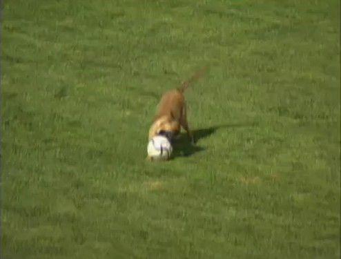 サッカーの試合に乱入しちゃった警備の犬の見事なキープ力