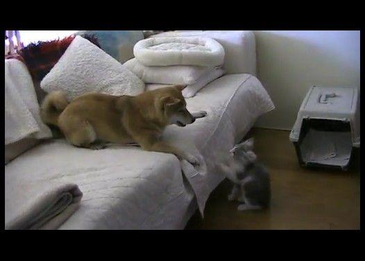 子猫に興奮して滑るように反復横跳びする犬