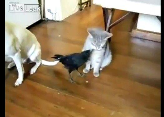 犬と猫に餌をあげるカラス