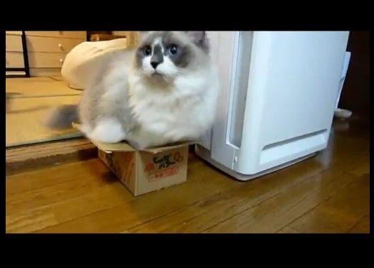 箱があったら入る猫