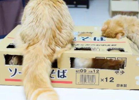 【マンチカンズ】子猫たたき