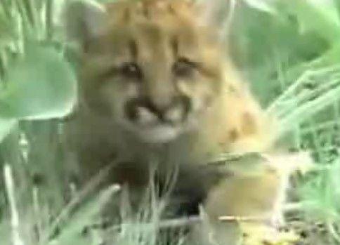 【野生動物の戦い】グリズリーvsピューマ