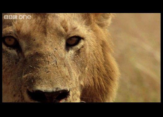 度胸とハッタリだけで15匹のライオンから堂々と肉を盗む3人の男性