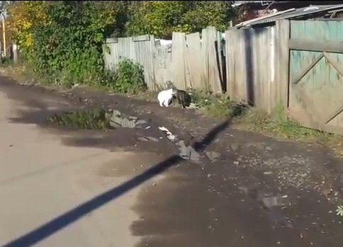 水たまりジャンプに失敗する猫