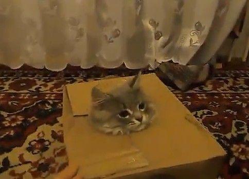 ダンボール箱で遊ぶ子猫が可愛い