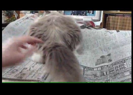 絶対わざとな猫