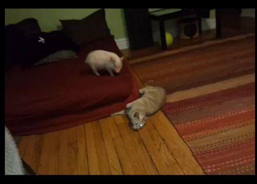 ミニ豚とネコの初顔合わせ