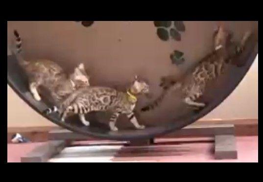子猫、キャットホイールでハッスル!