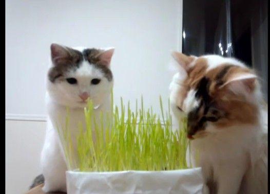 猫草大好き猫と、猫草の食べ方がわからない猫