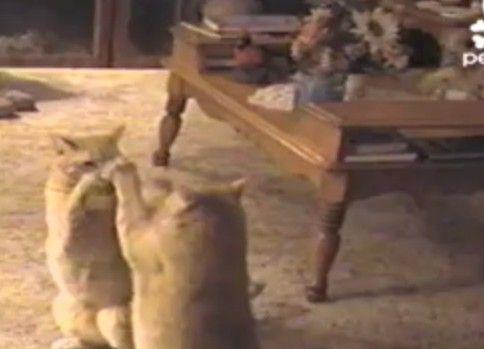 2匹のネコの動きがものすごいシンクロ率