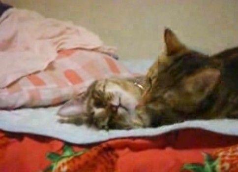 死んだように舐められる猫