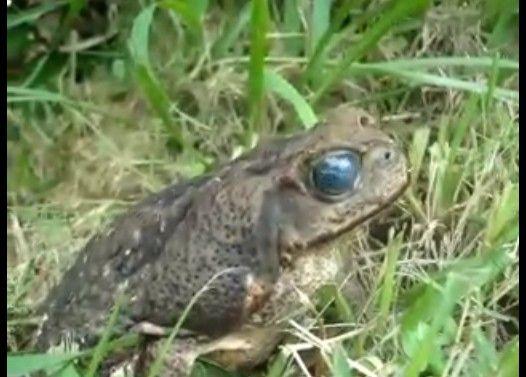 寄生虫に目を乗っ取られたカエル