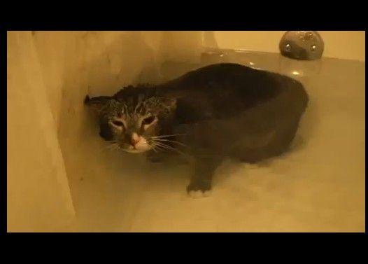 猫が風呂の中で口を水につけて「ミヨン」と鳴く動画が話題に