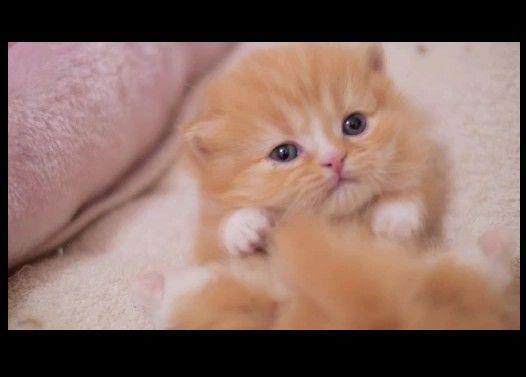 【マンチカン3兄妹】短足猫モコたんが開眼した日