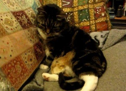ヒヨコがお腹でくつろいで困っている猫